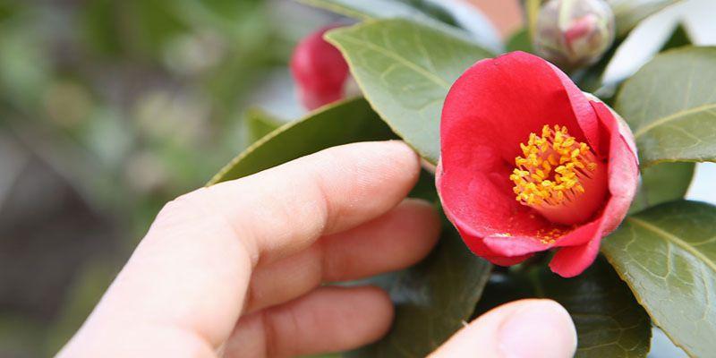 Kwiaty Ktore Przynosza Szczescie I Pechowe Rosliny Kobietamag Pl